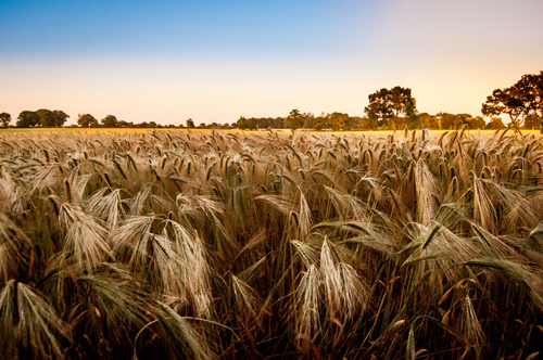 Barley by Chris Allum